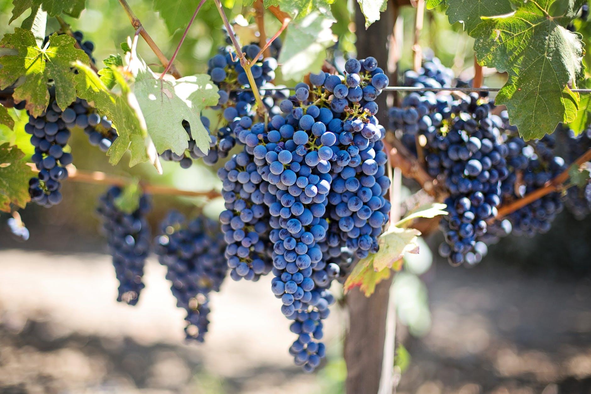 grapes vineyard vine purple grapes